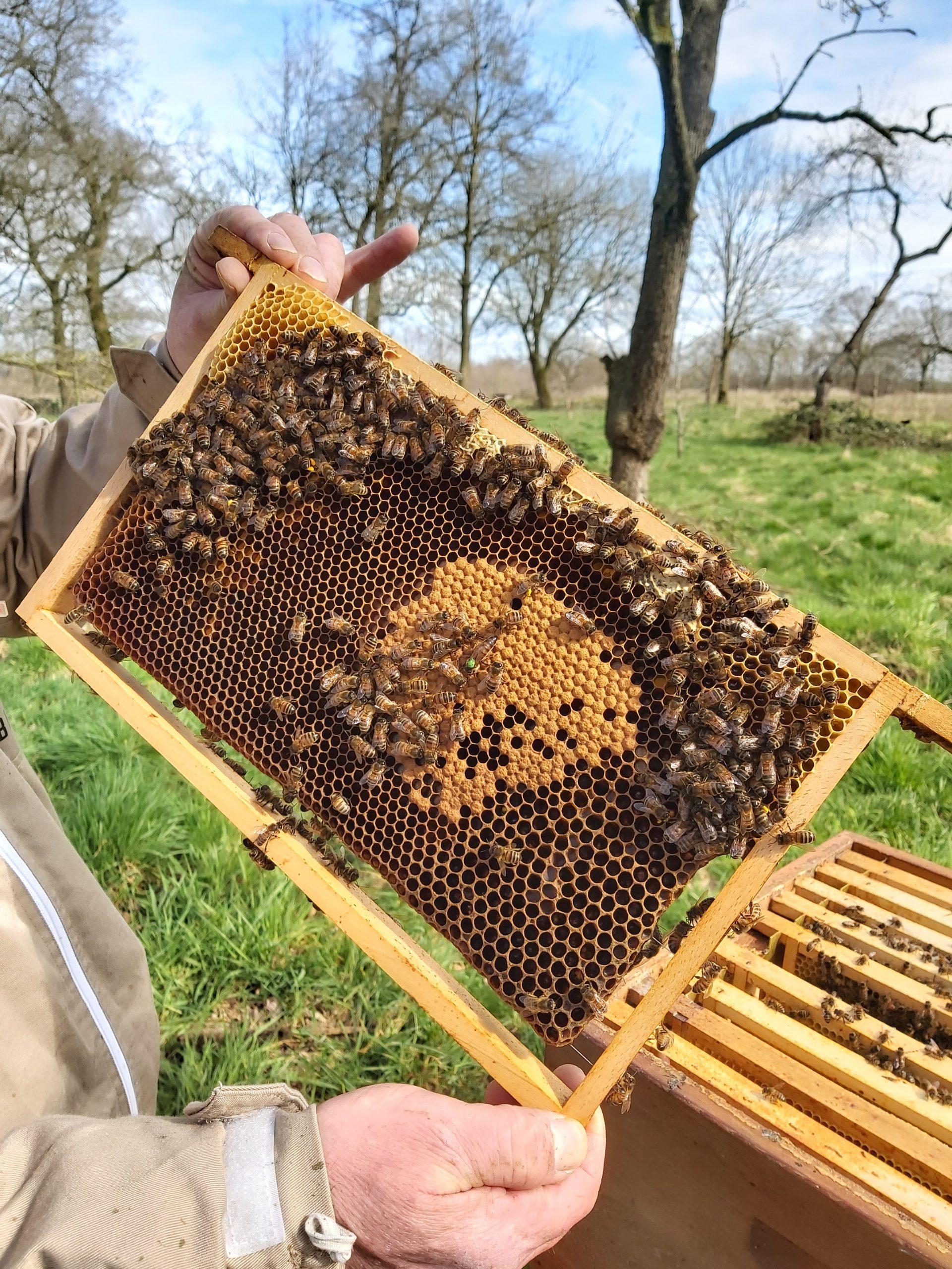 Beelife koningin broed